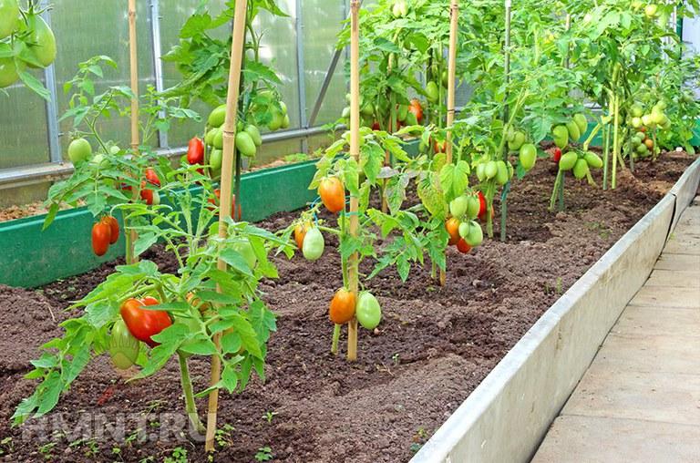 выращивание ели в теплице